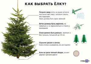 Живые ёлки: виды, размеры и полезные советы